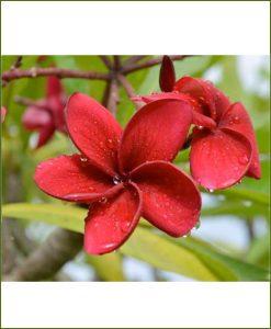 Plumeria-Red-(Champa)_Mashriat_Online-Nursery