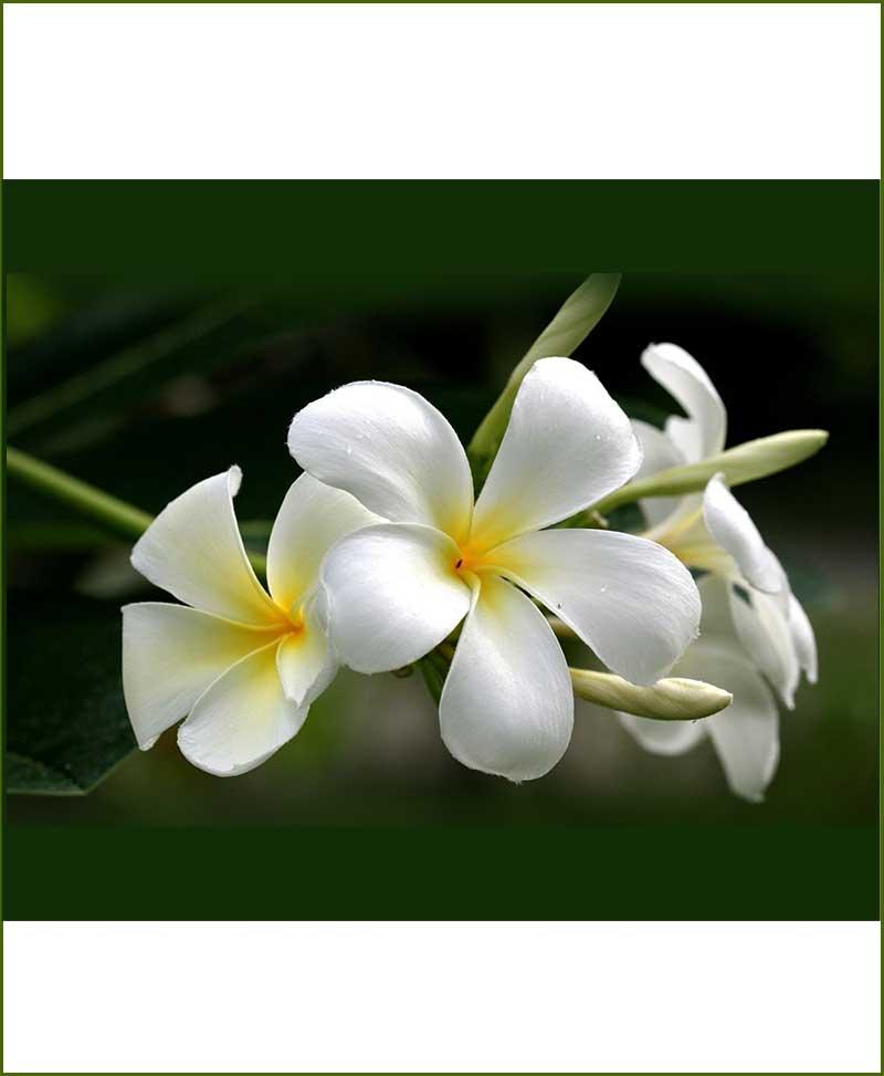 Plumeria White (Champa) - Plumeria Alba