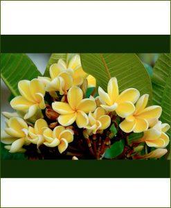 Plumeria-Yellow-(Champa)_Mashriat_Online-Nursery