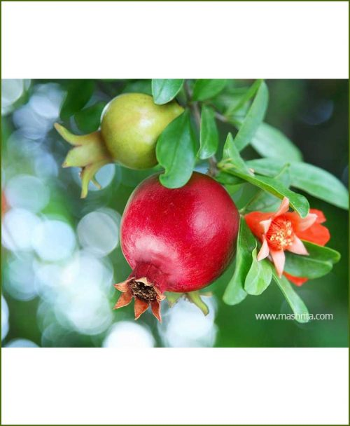Pomegranate-Bhagwa_Mashrita_Nature_Cloud