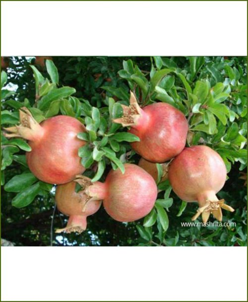 Pomegranate-Ganesh_Mashrita_Nature_Cloud