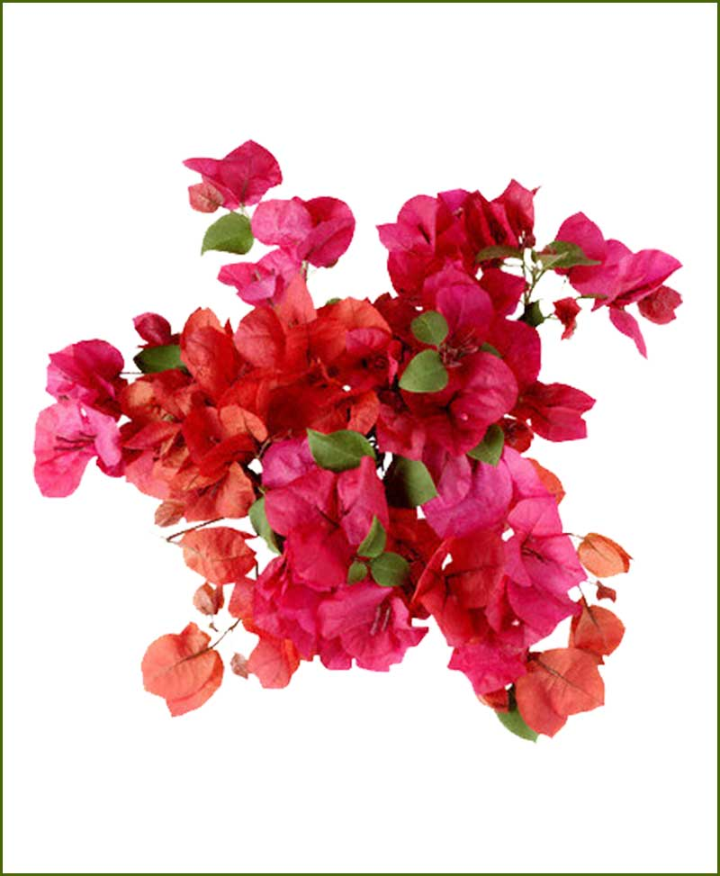Bougainvillea Plants