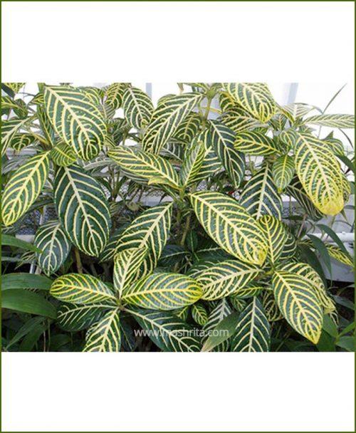 Sanchezia Nobilis (Tiger Plant - Aphelandra)