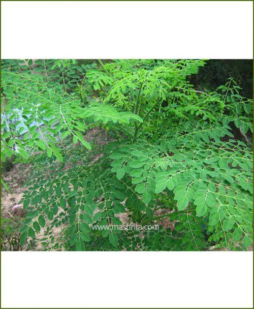 Shahjan - Drumstick (Moringa Oleifera)