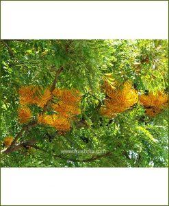 Silver Oak (Grevillea Robusta)