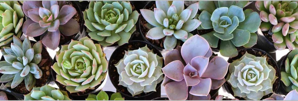 Succulents Care – Lets Understand What Does These Need