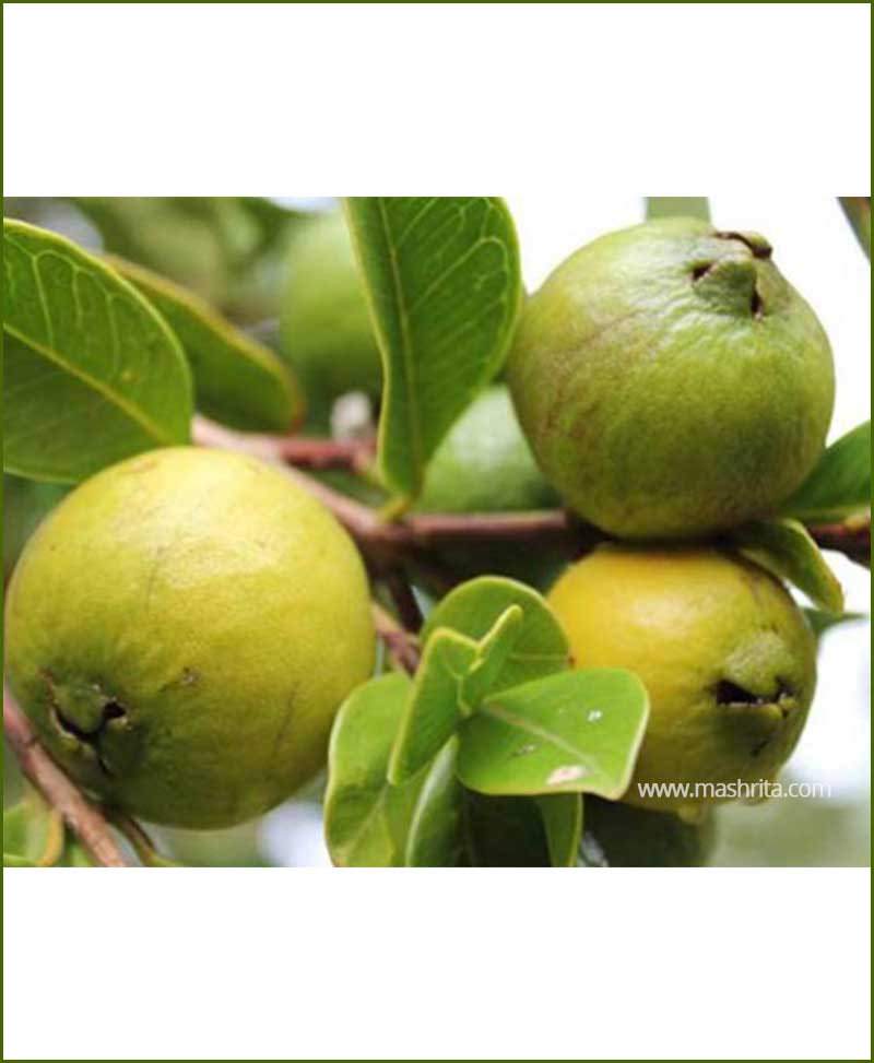 Thai-Guava-(Psidium-Guajava)_Mashrita_Nature_Cloud