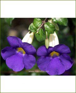 Thunbergia Erecta (Trumpet Vine)