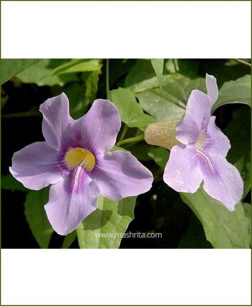 Thunbergia Grandiflora (Trumpet Vine)