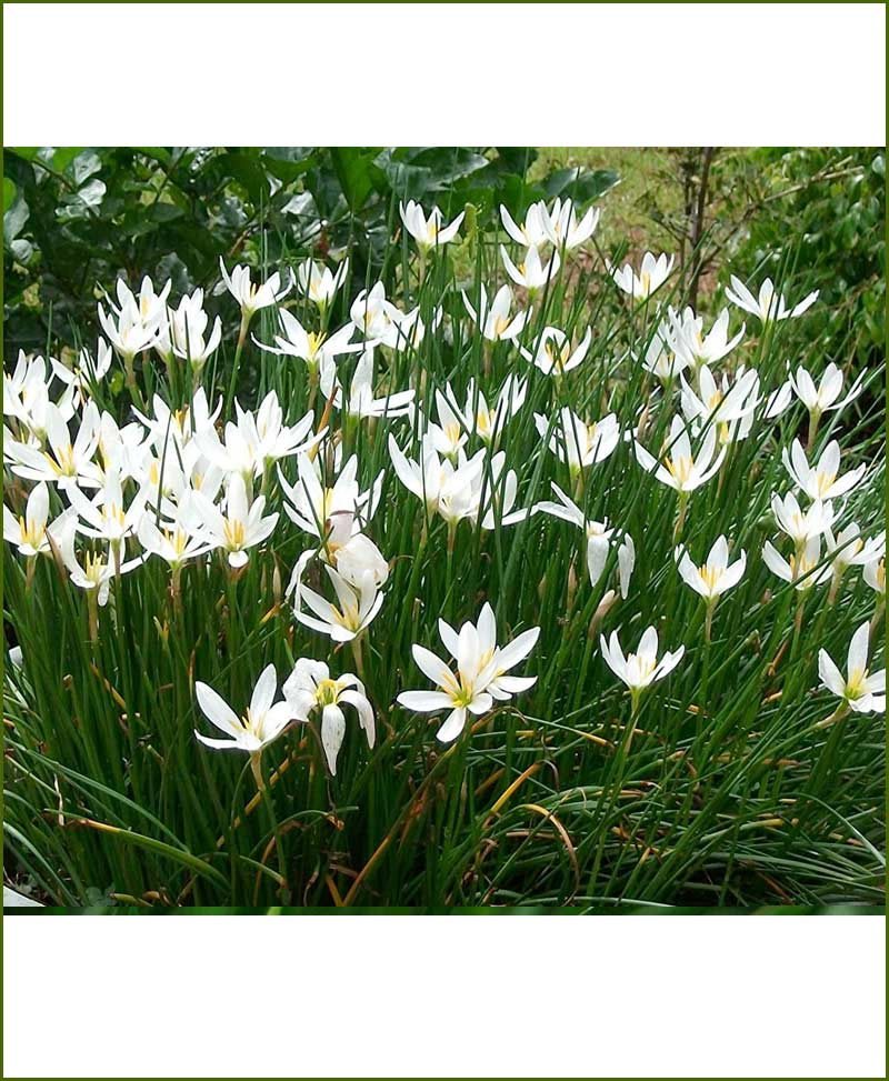 Zephyranthus Lily White