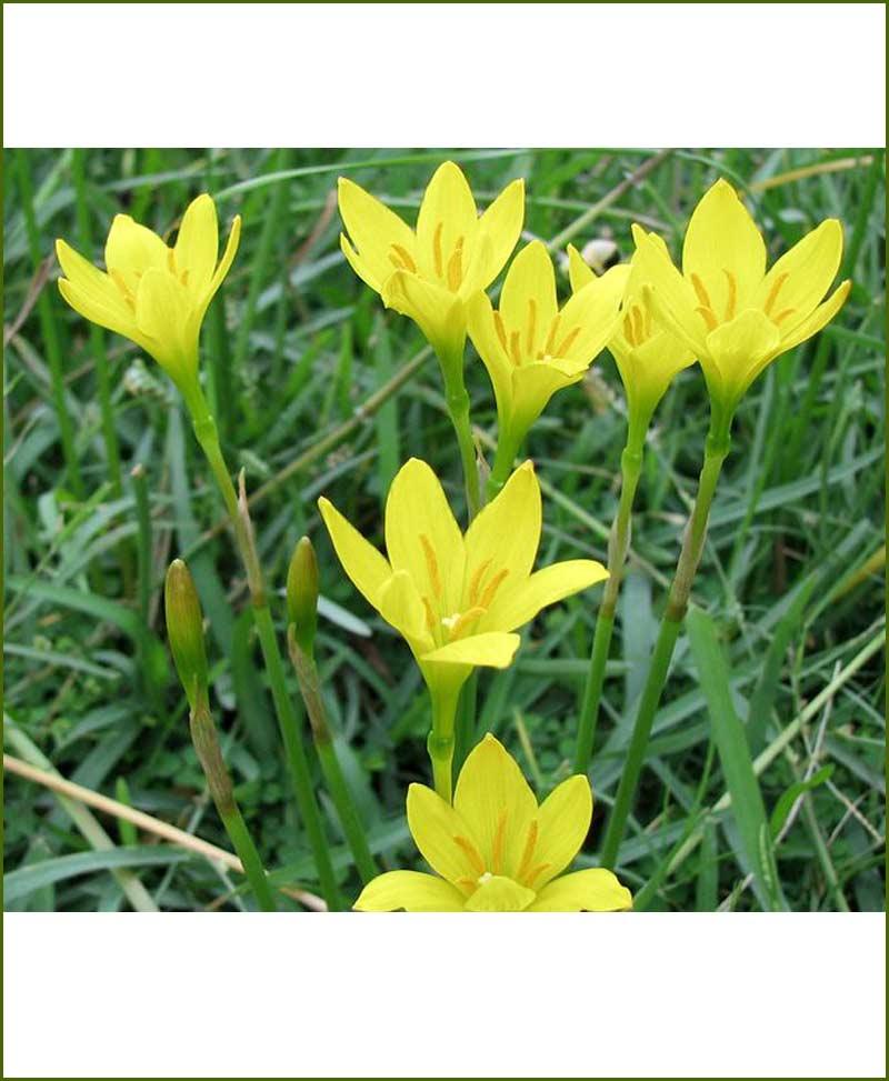 Zephyranthus Lily Yellow