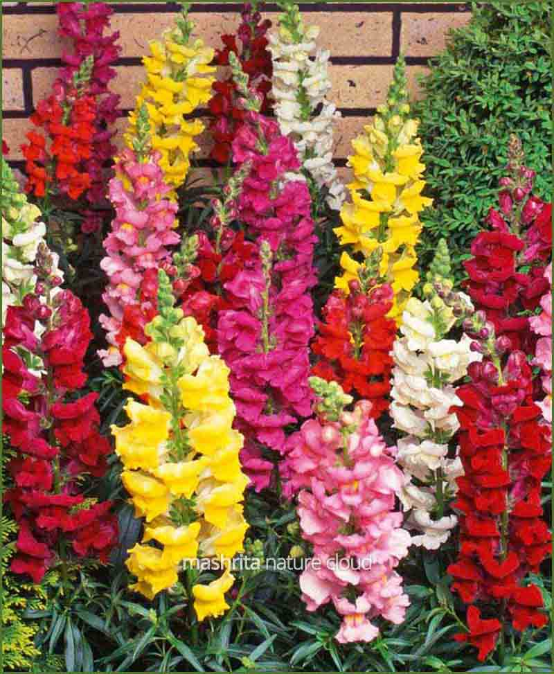 Antirrhinum Flower Plants