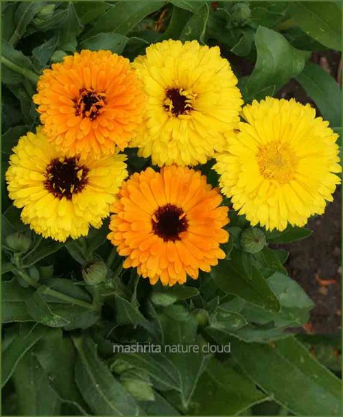 Calendula-Mixed_Mashrita_Nature_Cloud