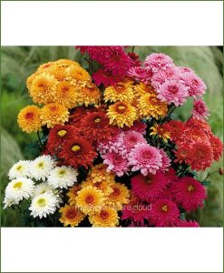 Chrysanthemum-Pompon-Mixed_Mashrita_Nature_Cloud