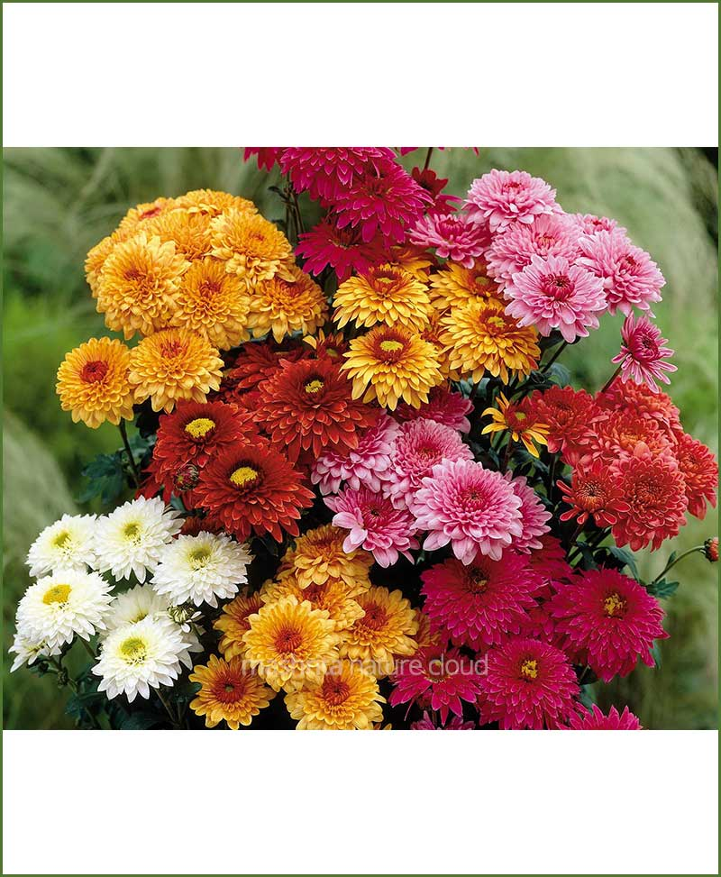 Chrysanthemum-Pompon-Mixed_Mashrita_Nature_Cloud