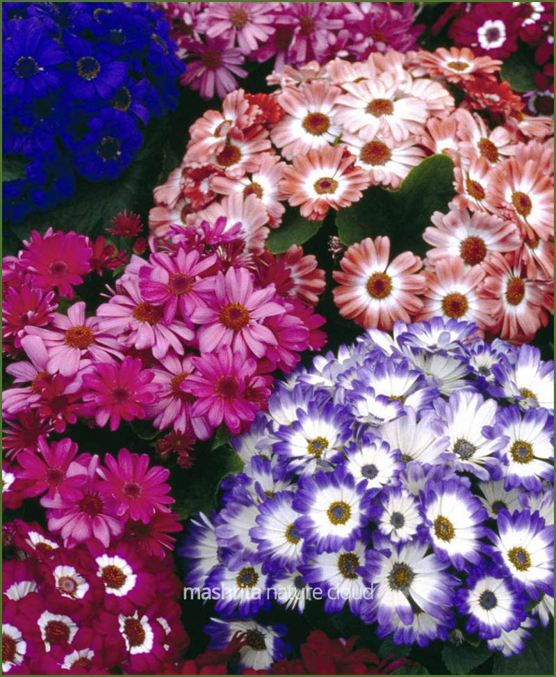 Cineraria-Mixed-(Imported)_Mashrita_Nature_Cloud