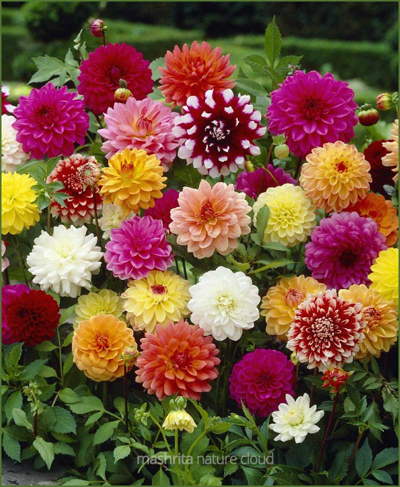 Dahlia-Mixed_Mashrita_Nature_Cloud