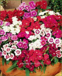 Dianthus-Mixed-(Imported)_Mashrita_Nature_Cloud