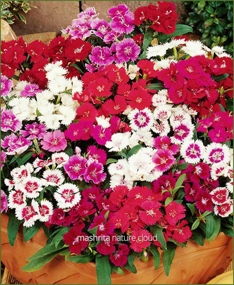 Dianthus Flower Plants