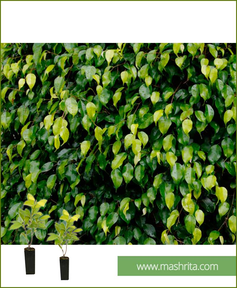 Ficus Benjamina Black Exotica (10 Plants)