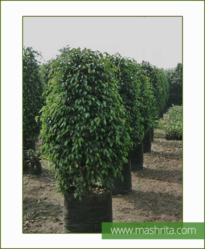 Ficus-Benjamina-Black-Exotica-(Large-Bushy)-Mashrita-Online-Nursery
