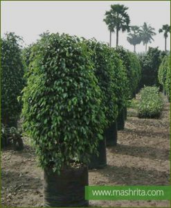Ficus Benjamina Black Exotica (Large Bushy)