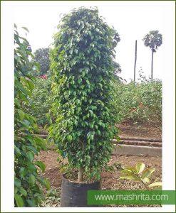 Ficus-Benjamina-Exotica-Black-Medium_Mashrita_Online_Nursery