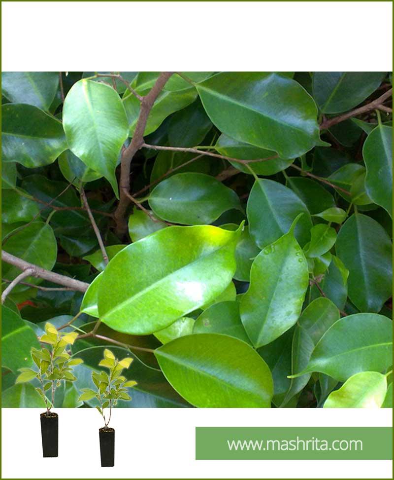 Ficus Benjamina Green Exotica (Small 10 Plants)