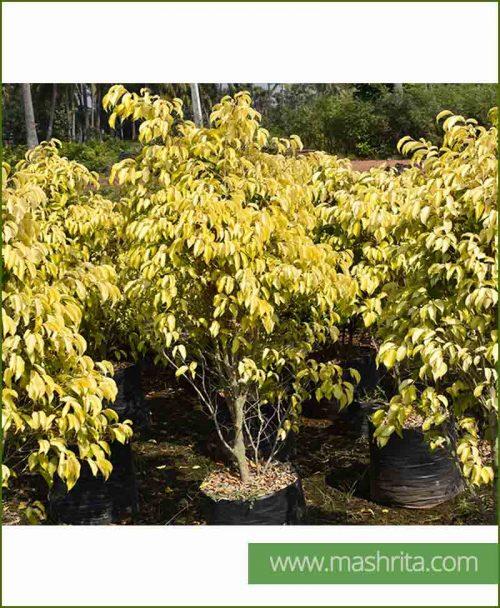 Ficus Benjamina Reginald Small (Ficus Prestige)
