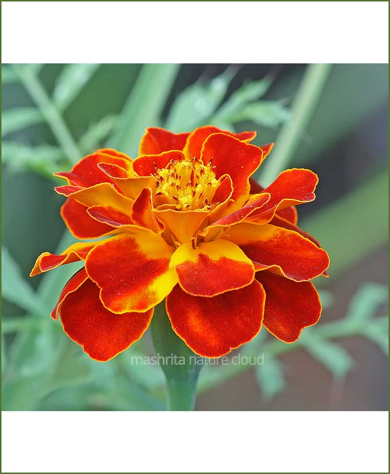 French Marigold (Zafari) (Imported Goldsmith)