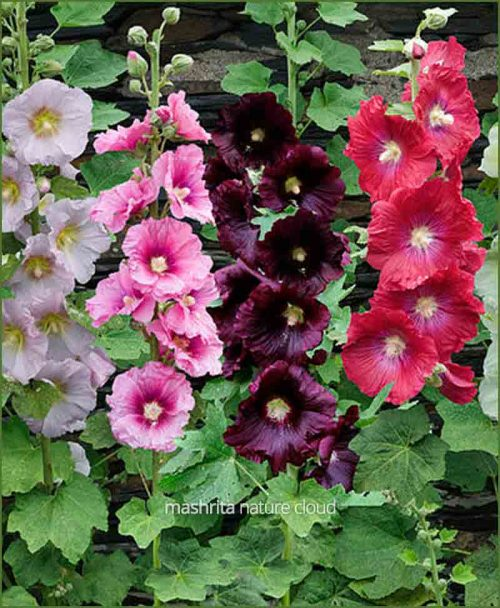 Hollyhock Flower Plants