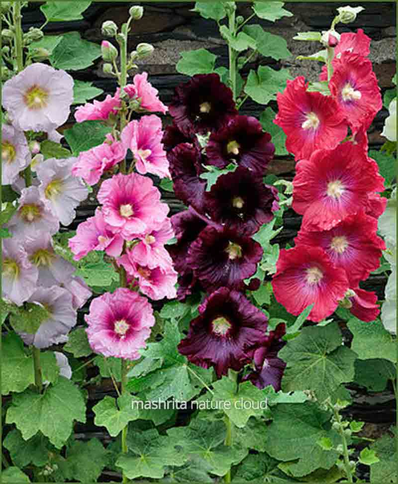 Hollyhock-Mixed_Mashrita_Nature_Cloud