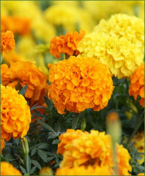 Kolkata-Marigold-Mixed_Mashrita_Nature_Cloud