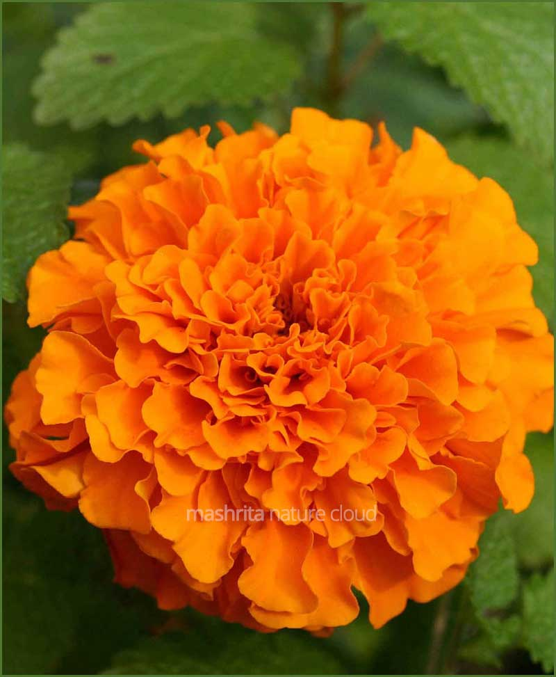 Kolkata Marigold Orange