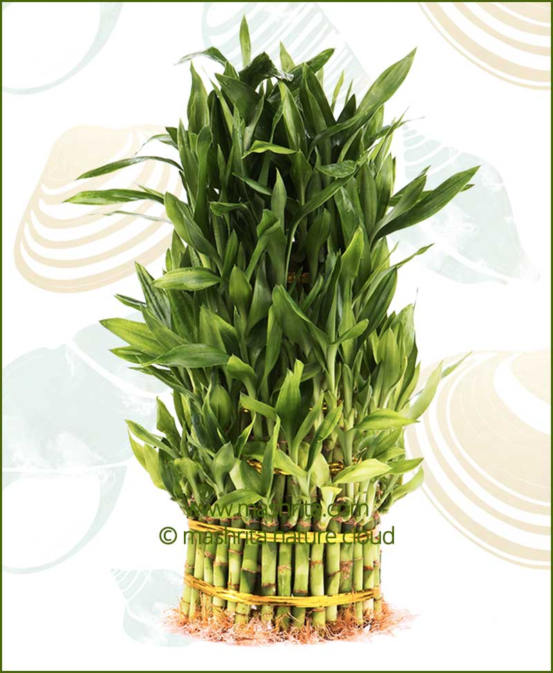 Lucky Bamboo Eight Layer Bare Root