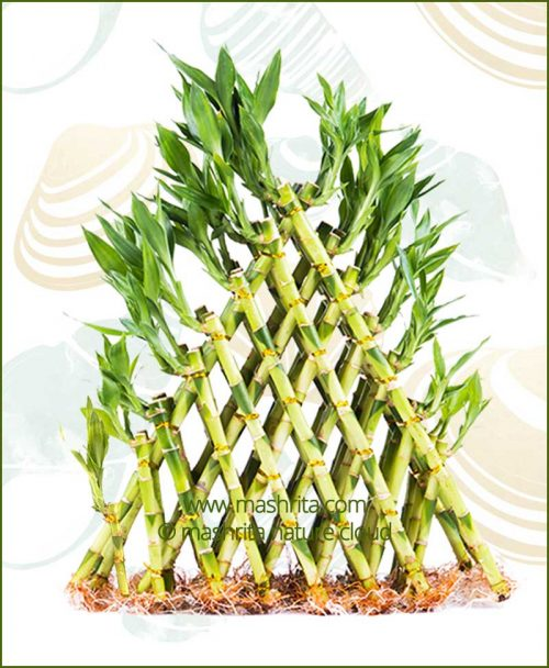 Lucky-Bamboo-Eight-Layer-Pyramid-Without-Pot
