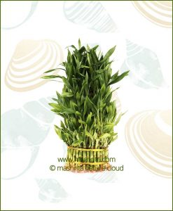 Lucky-Bamboo-Five-Layer-Bare-Root