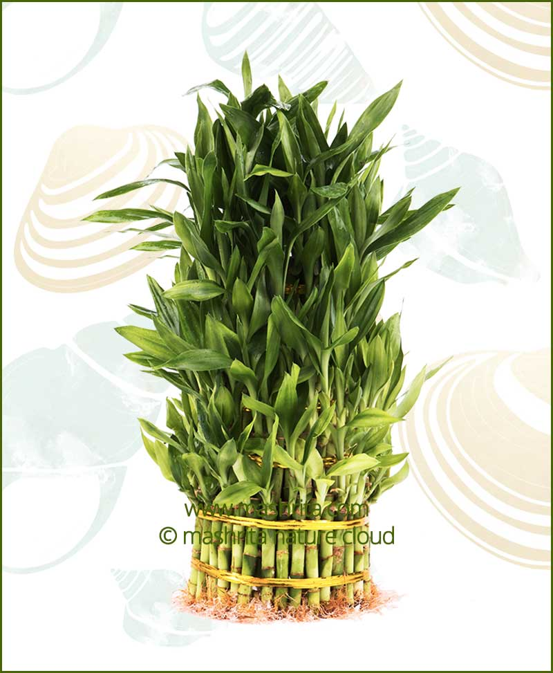 Lucky Bamboo Seven Layer Bare Root