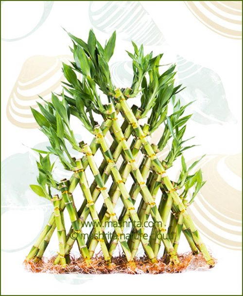 Lucky Bamboo Pyramid Seven Layer Bare Root