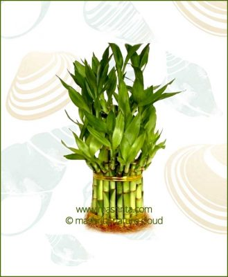 Lucky Bamboo Three Layer Bare Root