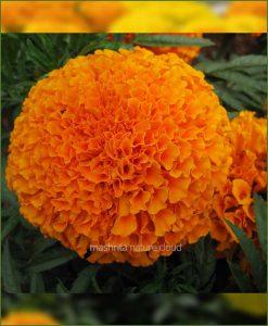 Marigold-Orange-(Imported-Goldsmith)_Mashrita_Nature_Cloud