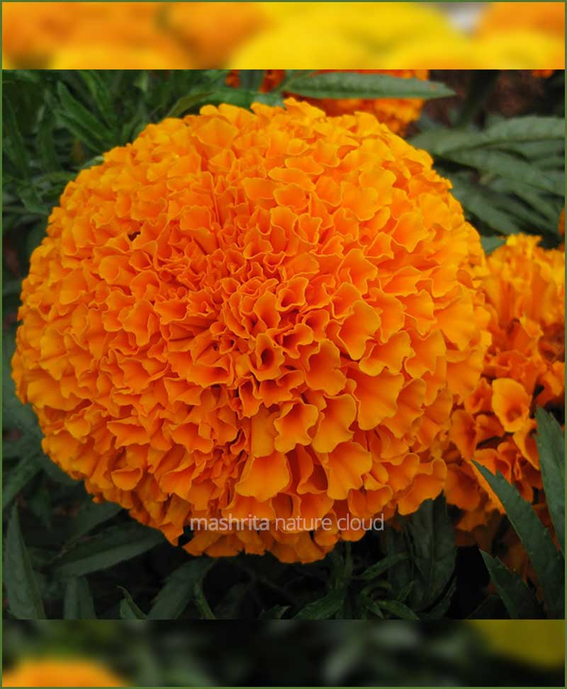 Marigold-Orange-(Imported-Goldsmith)_Mashrita_Nature_Cloud