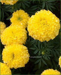 Marigold-Yellow-(Imported-Goldsmith)_Mashrita_Nature_Cloud