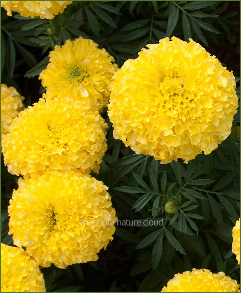 Marigold-Yellow-(Imported-Goldsmith)_Mashrita_Nature_Cloud