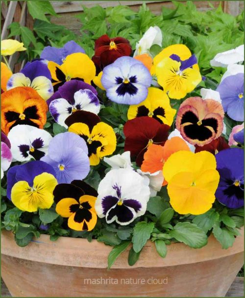 Pansy Flower Plants