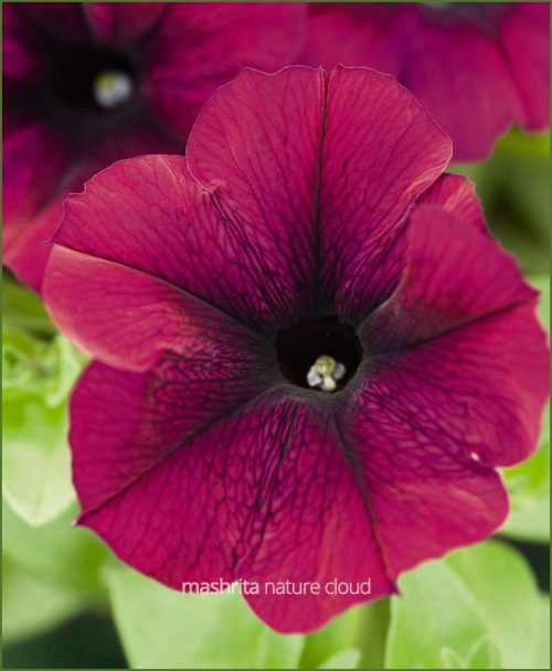 Petunia-Burgundy-(Imported)_Mashrita_Nature_Cloud
