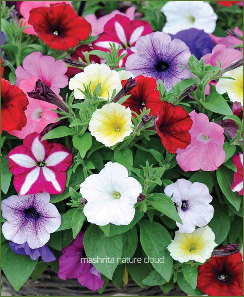 Petunia-Grandiflora-Mixed-(Imported)_Mashrita_Nature_Cloud