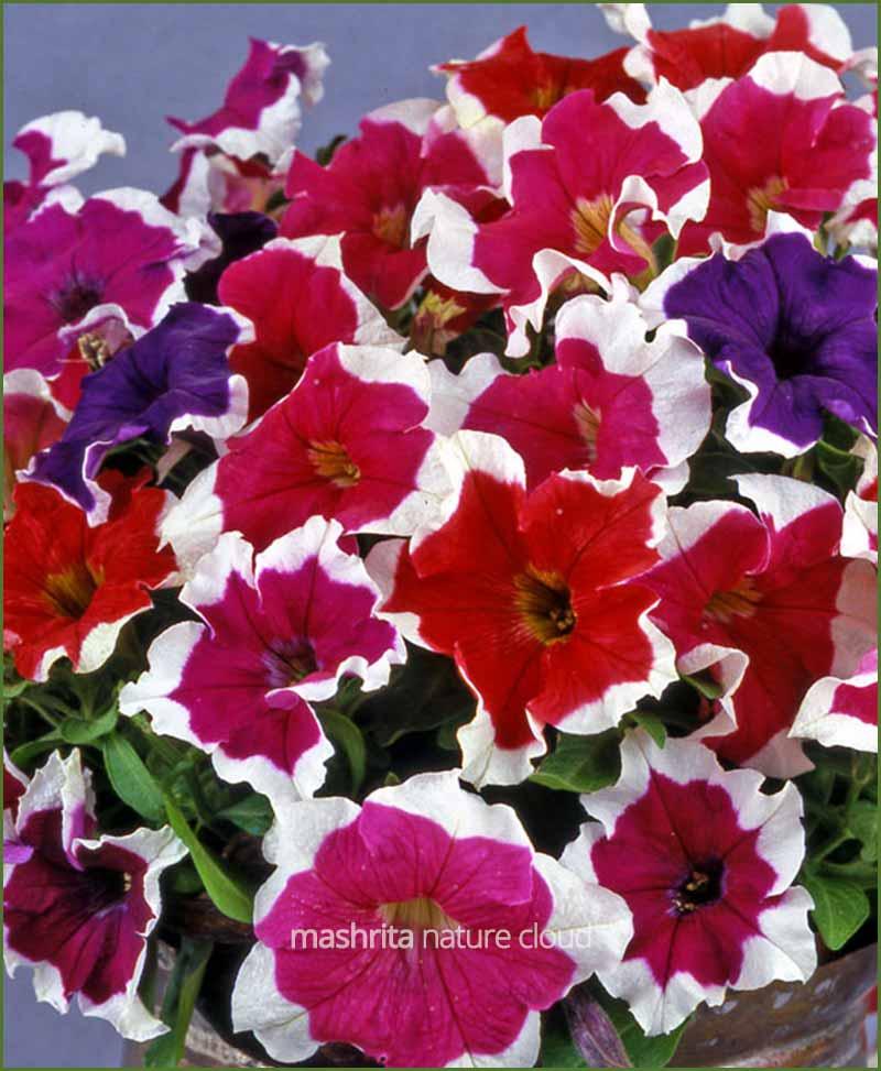 Petunia Picotee Mixed (Imported)_Mashrita_Nature_Cloud