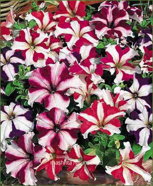Petunia-Star-Mixed(Imported)_Mashrita_Nature_Cloud