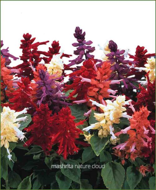 Salvia Mixed_Mashrita_Nature_Cloud